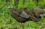 Avian X  Breeder Hen Turkey Decoys