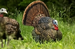 Avian X  Strutter Turkey Decoys